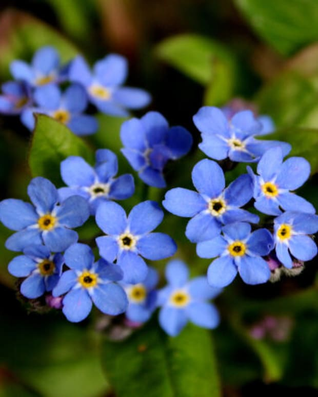 forget-me-never