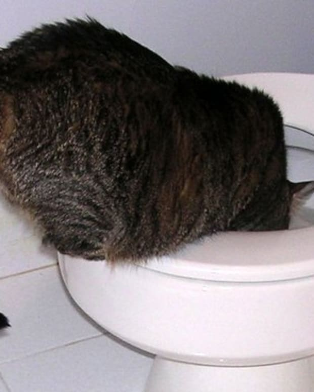 why-in-the-world-do-cats-drink-from-toilets