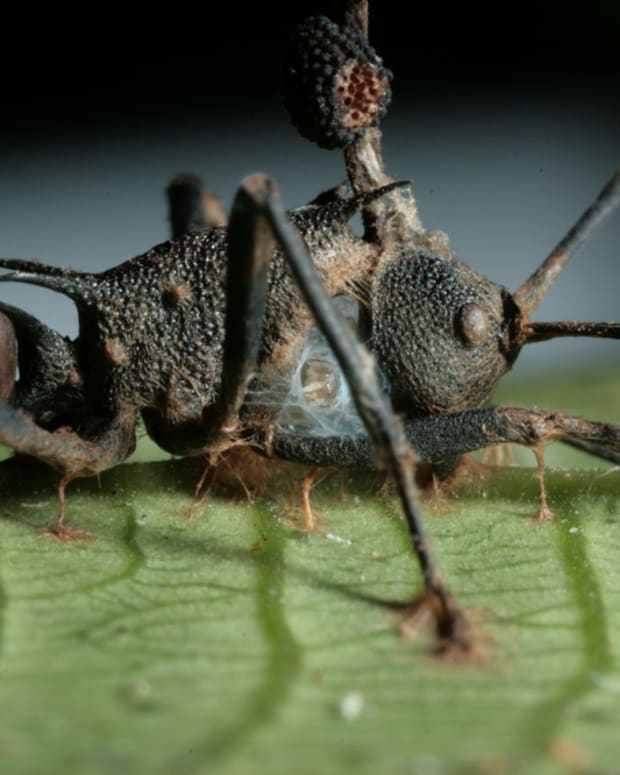 cordyceps-and-zombie-ants