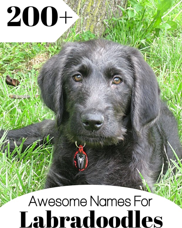 names-for-labradoodles