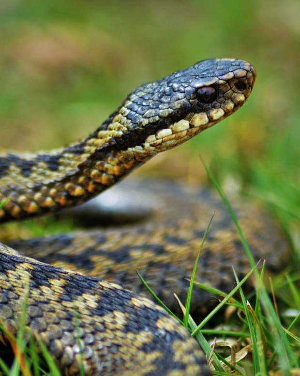what-you-need-to-know-about-the-risk-of-adder-bites-to-your-dog