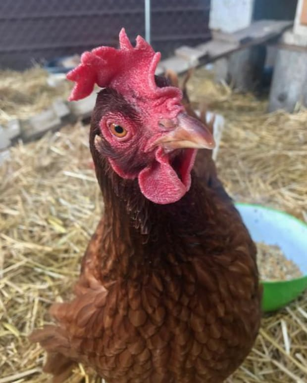 6-ways-to-keep-chickens-cool-in-the-summer