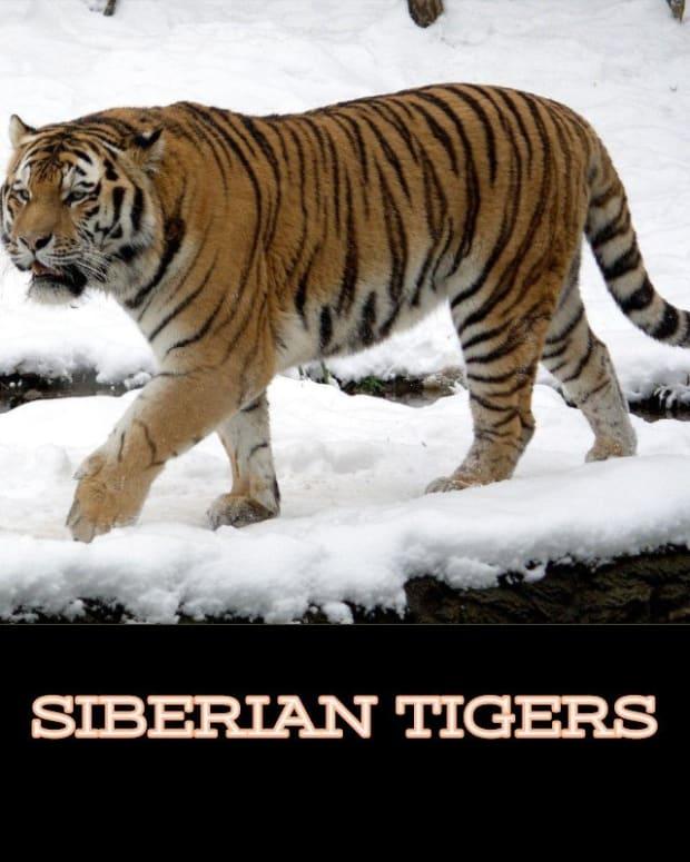 siberian-tigers1