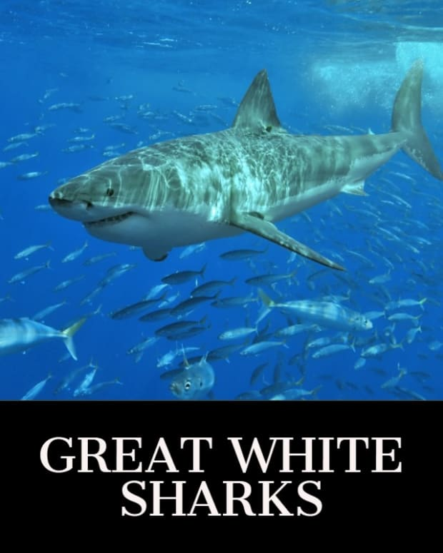 great-white-sharks1