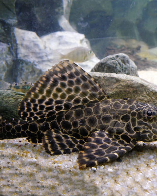 types-of-catfish-for-freshwater-aquarium