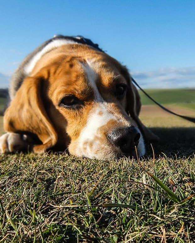 will-dog-pee-kill-grass-and-plants