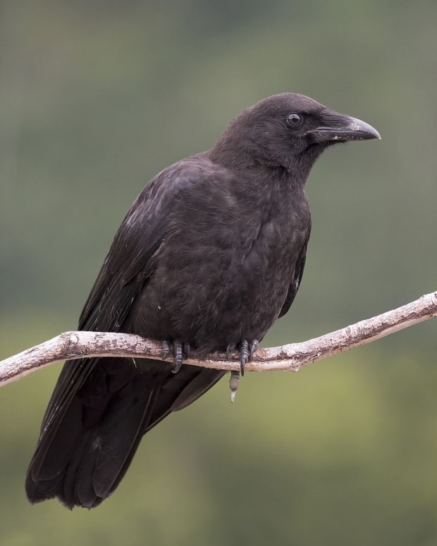 the-northwestern-crow-and-a-semi-tame-bird-named-canuck