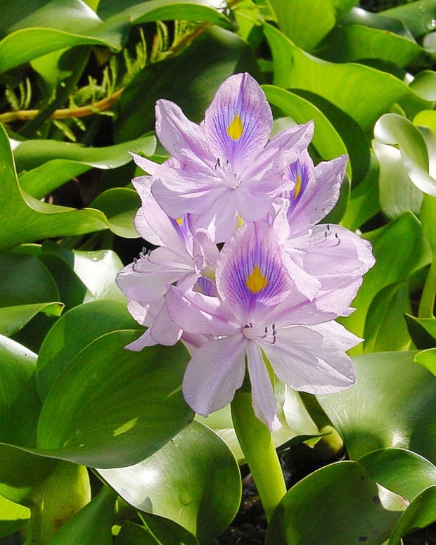 the-beautiful-water-hyacinth-an-invasive-plant-and-a-biofuel