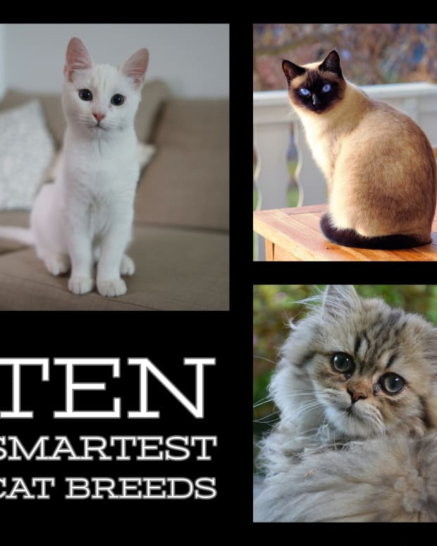 top-10-smartest-cat-breeds