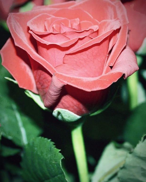 a-single-rose