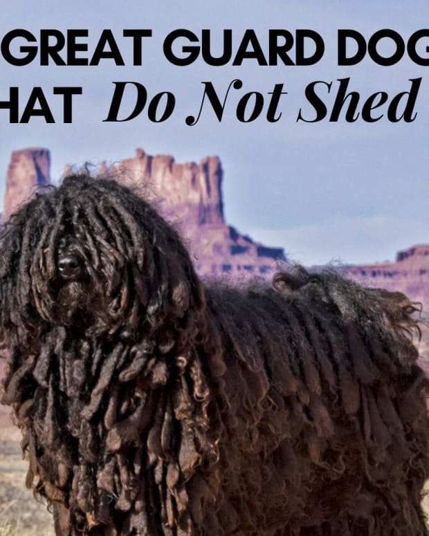 non-shedding-guard-dogs