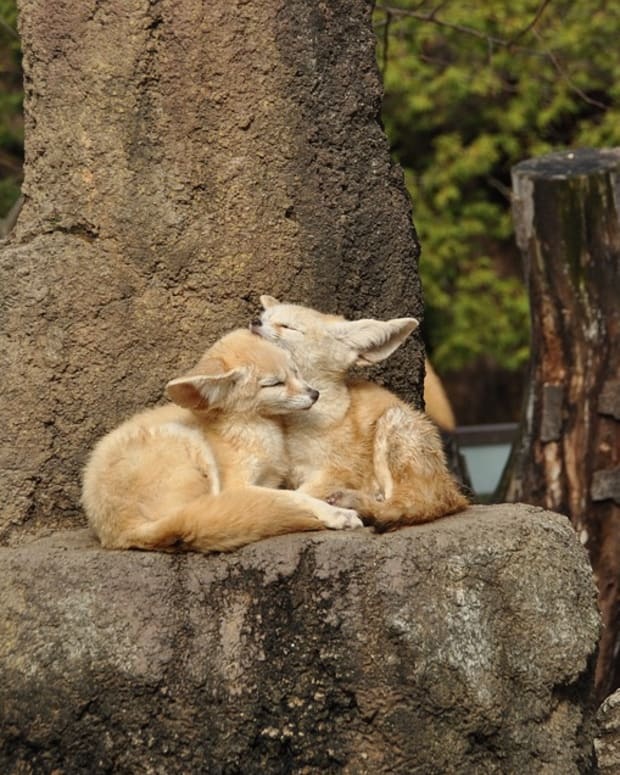 what-do-fennec-foxes-eat