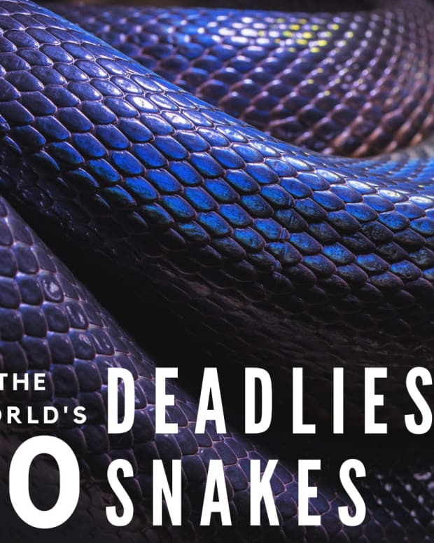 top-ten-deadliest-snakes-in-the-world