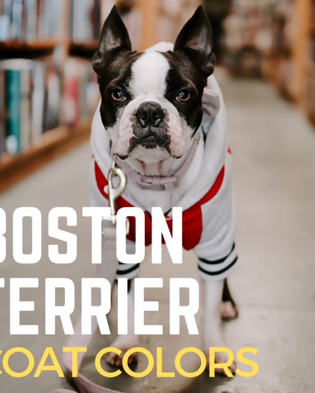 boston-terrier-colorsall-about-the-breed