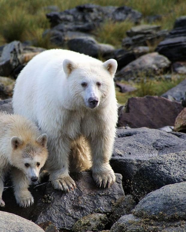 white-kermode-or-spirit-bear-official-mammal-of-british-columbia