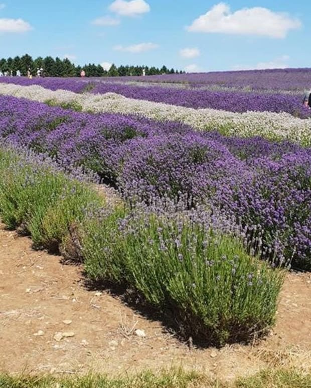 lavender-english-cotswolds