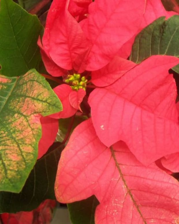 how-to-save-a-poinsettia-for-next-christmas