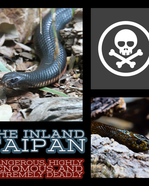 the-inland-taipan-dangerous-highly-venomous-and-extremely-deadly