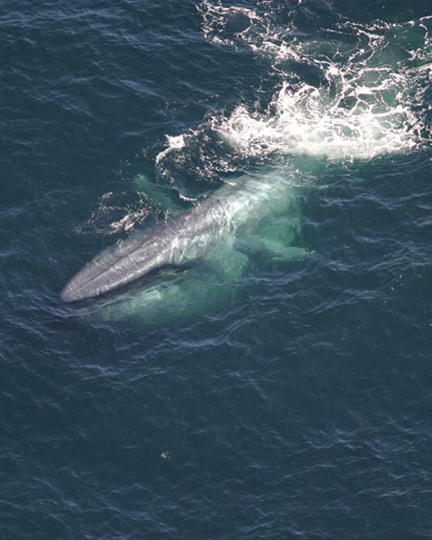35-facts-about-the-blue-whale