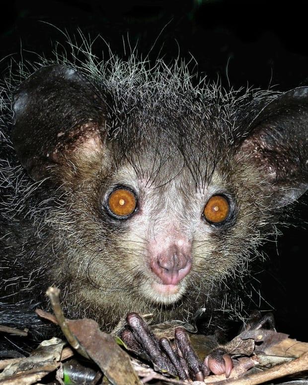 the-strange-aye-aye-lemur-of-madagascar-and-its-pseudothumb