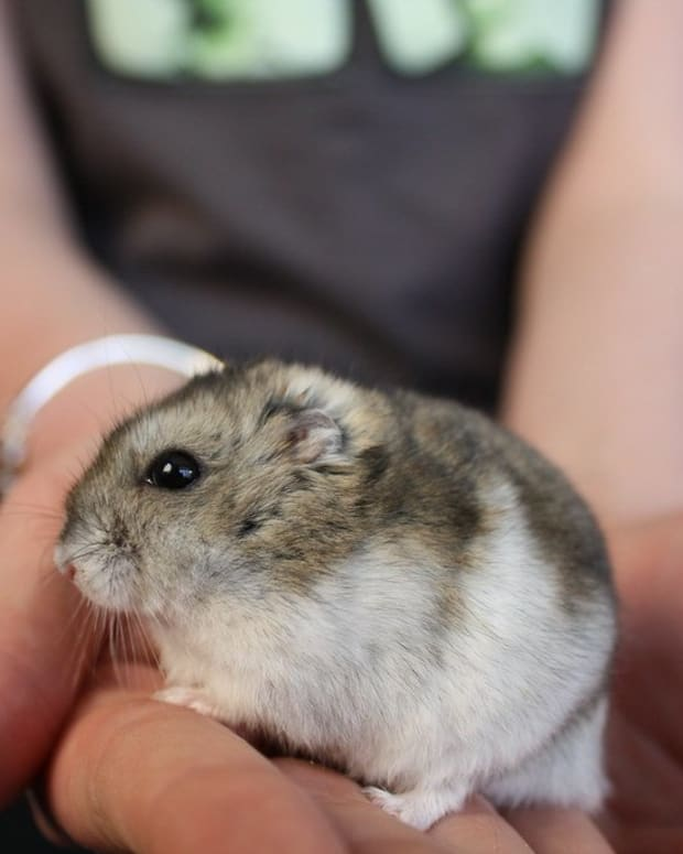 causes-of-sudden-death-in-hamsters