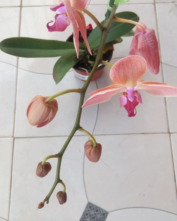 orchid-of-love