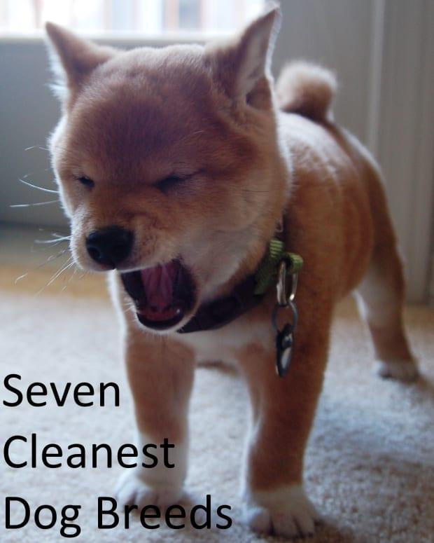 cleanest-dog-breeds