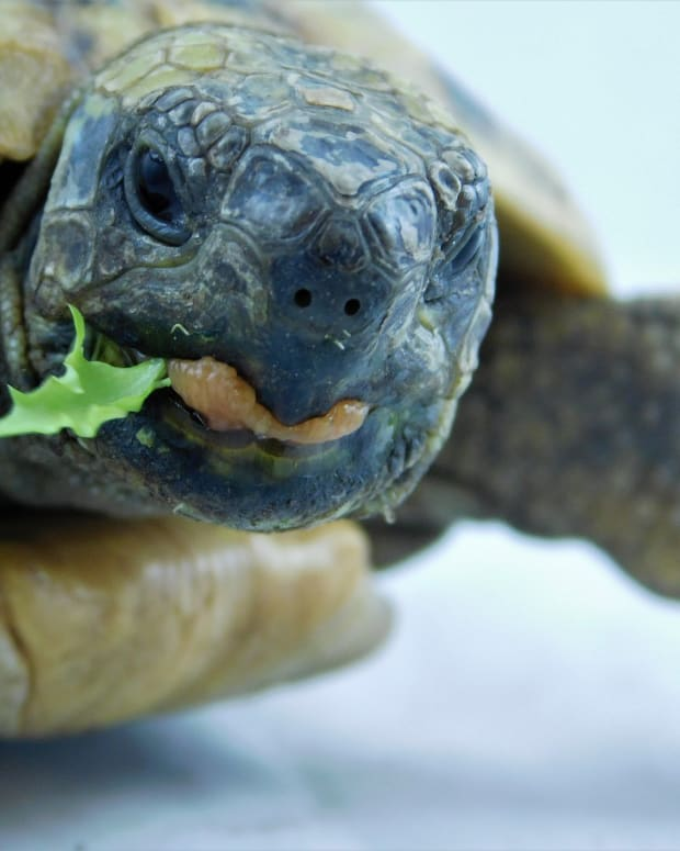 the-ideal-greek-tortoise-diet-and-tortoise-care-tips
