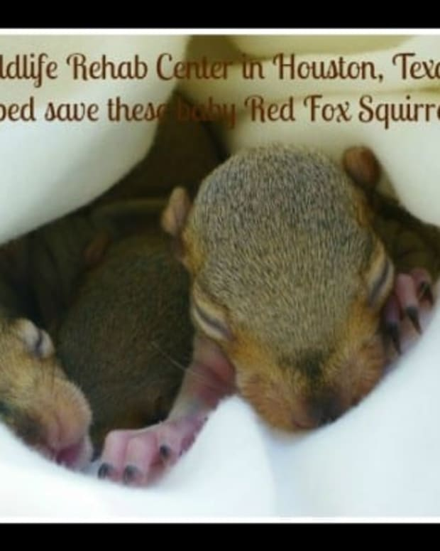 baby-red-fox-squirrels-saved-by-texas-wildlife-rehab-center