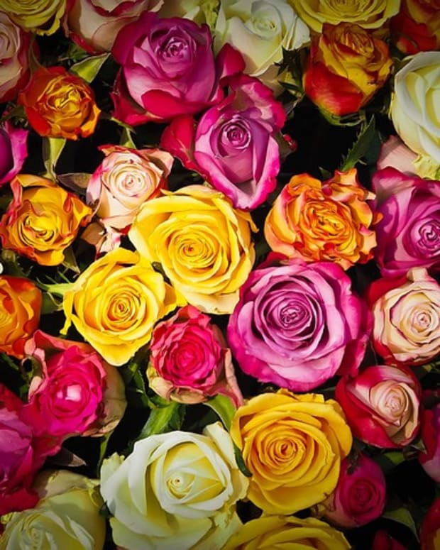 rose-color-meanings-whats-your-rose-language