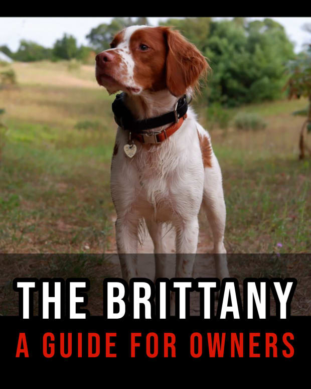 the-brittany-a-guide-for-owners