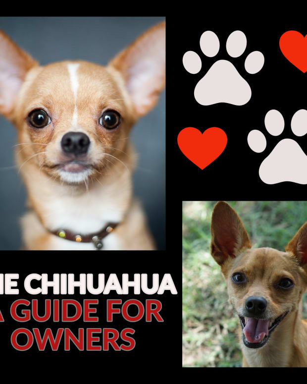 the-chihuahua-a-guide-for-owners