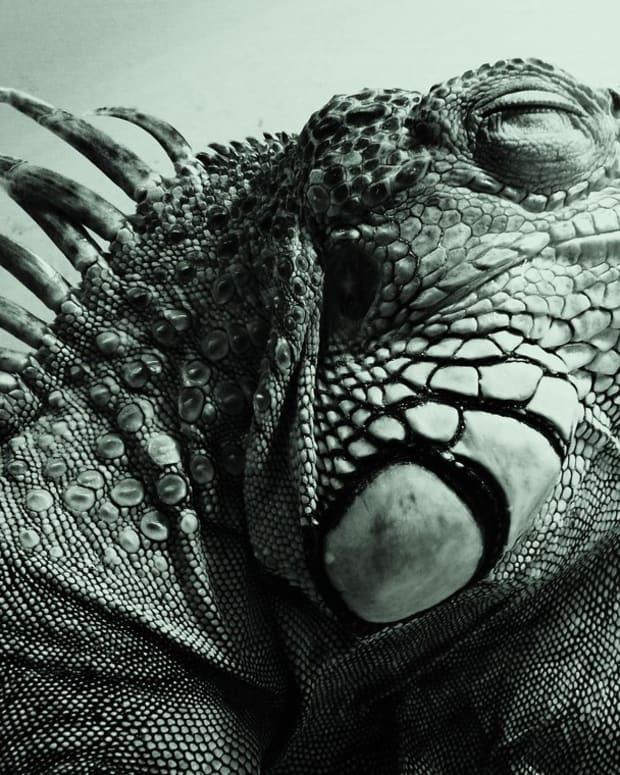 iguana-cant-poop