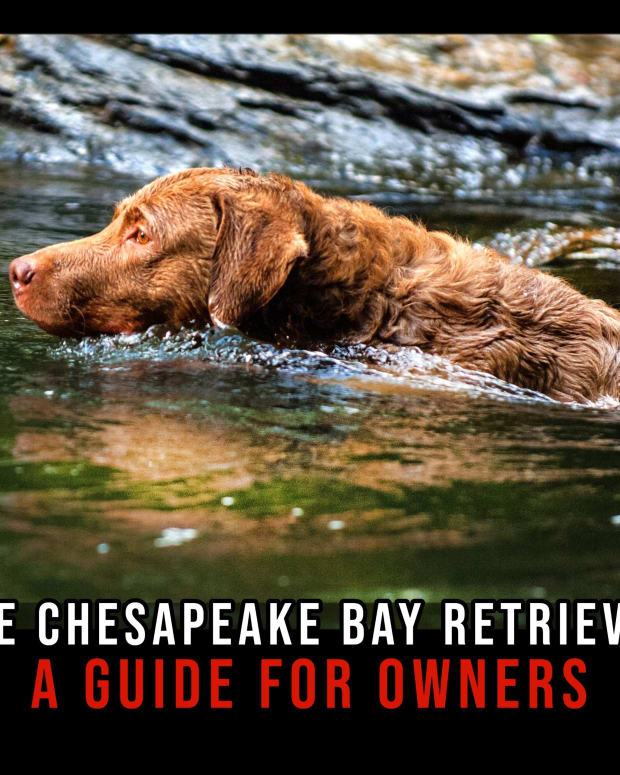 the-chesapeake-bay-retriever-a-guide-for-owners