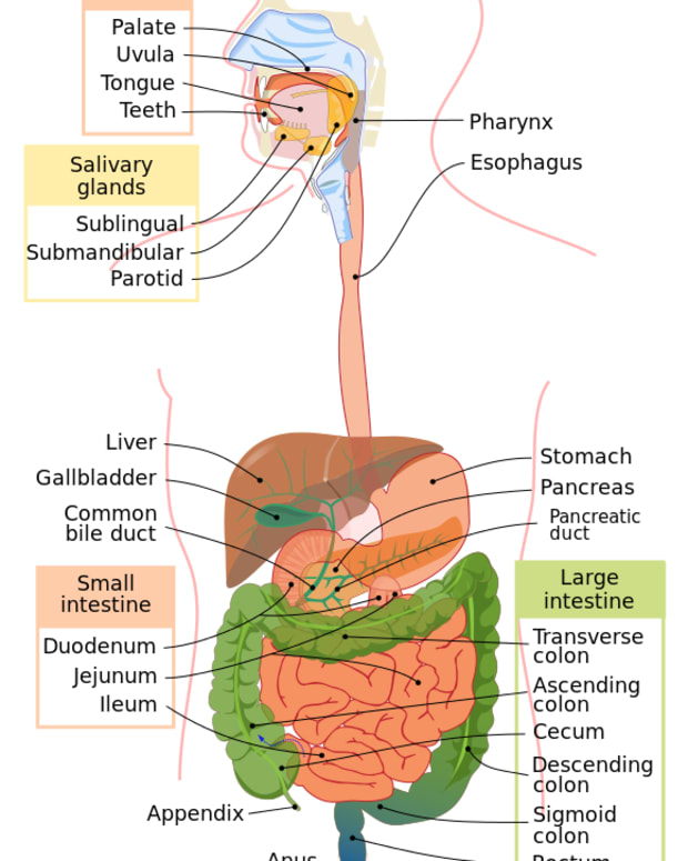 5-stages-of-human-digestion-digestive-processes