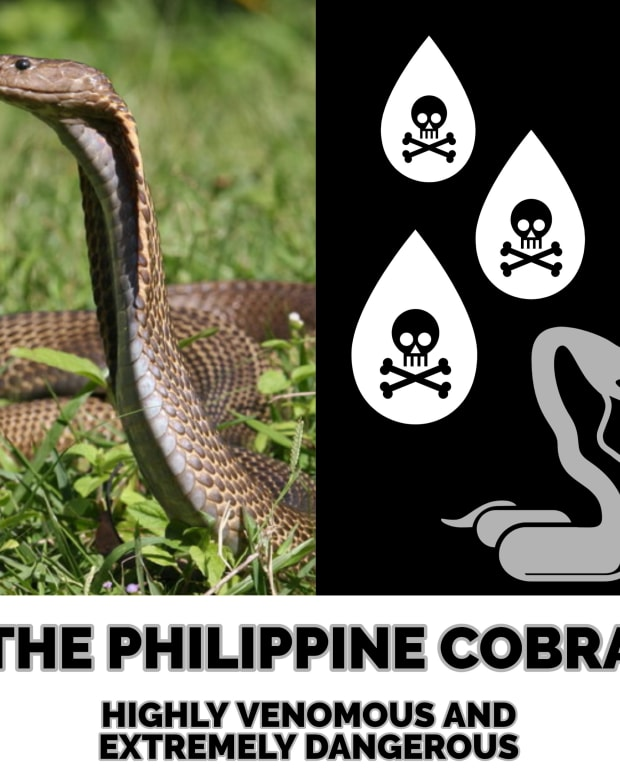 the-philippine-cobra