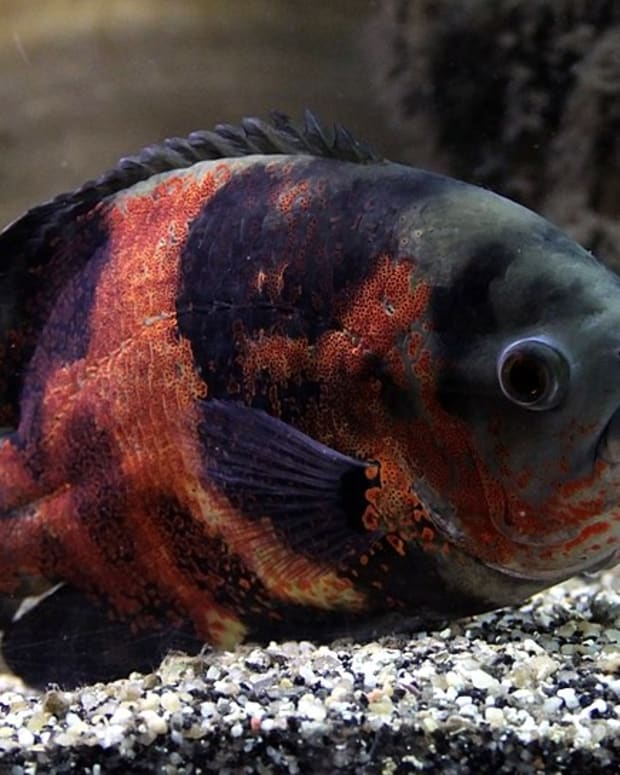 large-freshwater-aquarium-fish