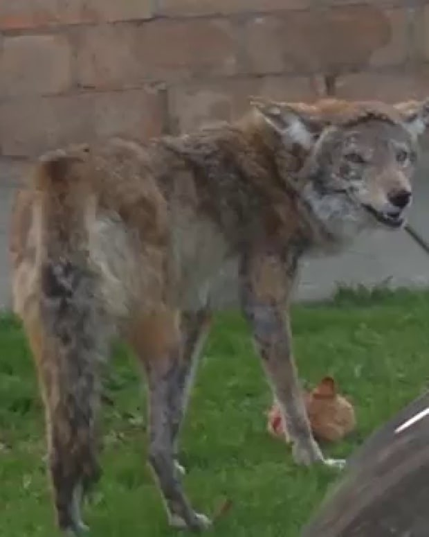 the-coyote-and-the-cat