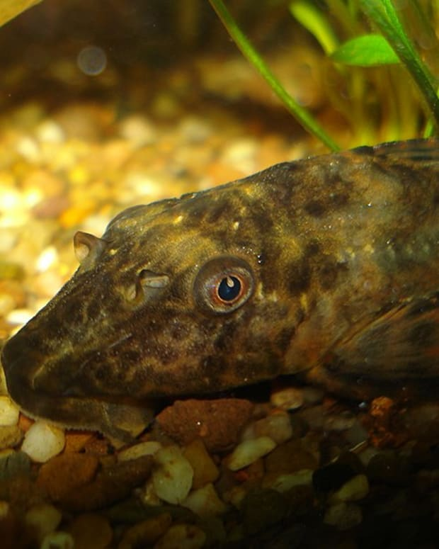 common-plecostomus-fish-care