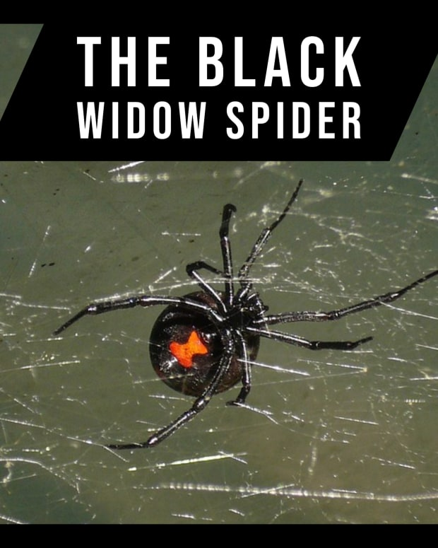 the-black-widow-spider2