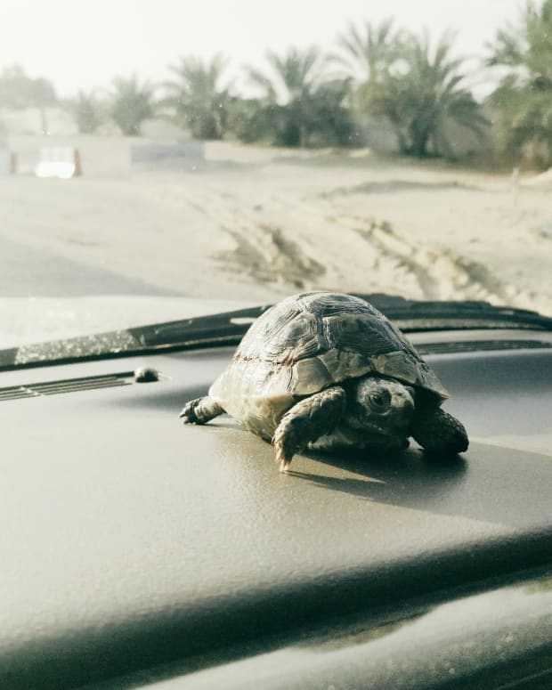 bringing-home-a-greek-tortoise-spur-thighed