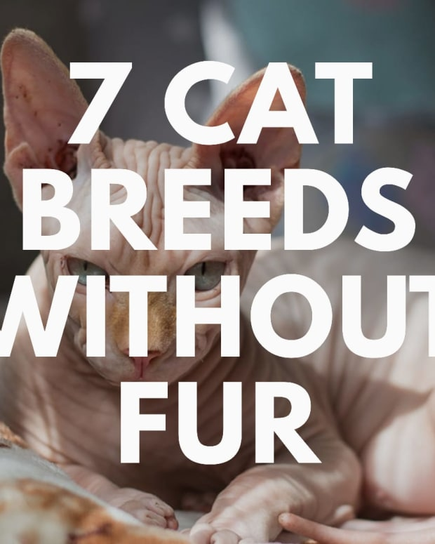 cat-breeds-without-fur