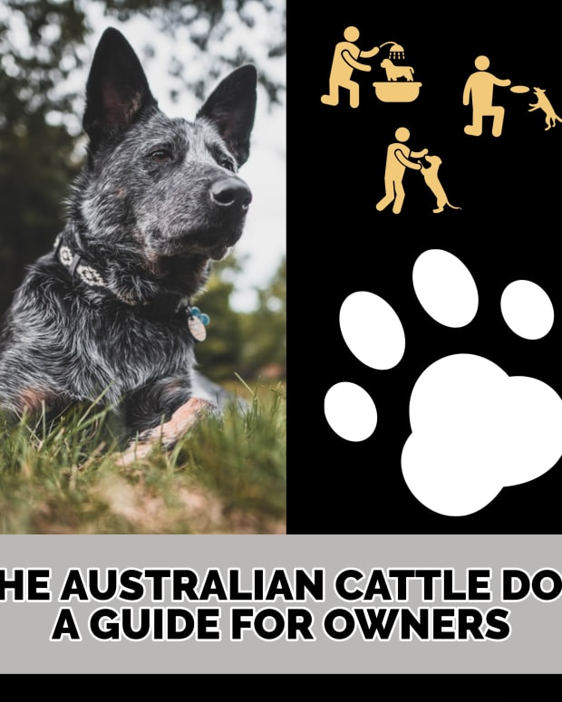 the-australian-cattle-dog-a-guide-for-owners