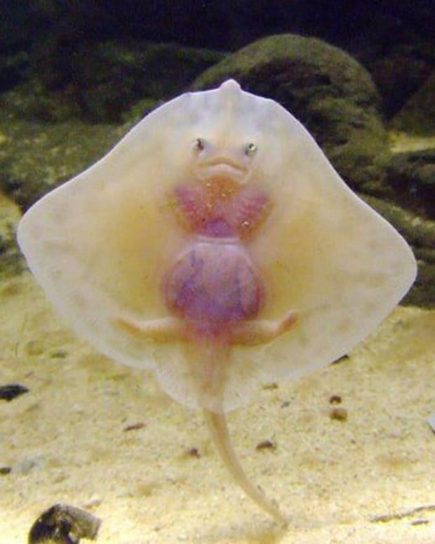 stingray-baby-looks-like-ravioli