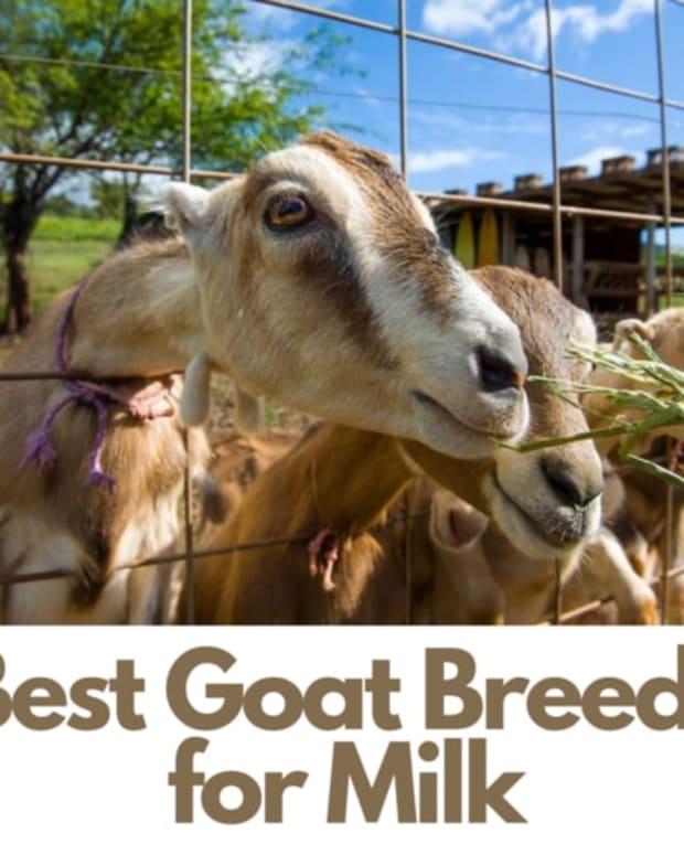 best-goat-breeds-for-milk