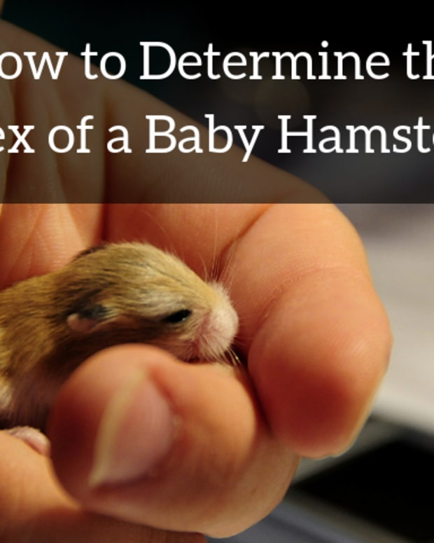 how_to_sex_baby_hamsters