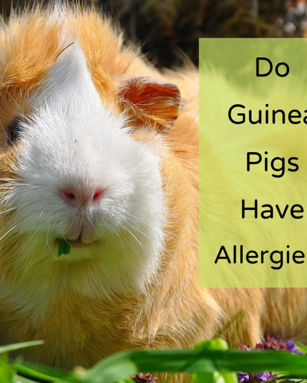 what-are-guinea-pigs-allergic-to