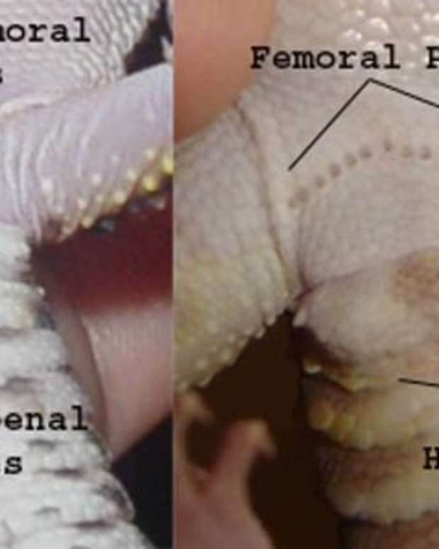 breeding_leopard_geckos