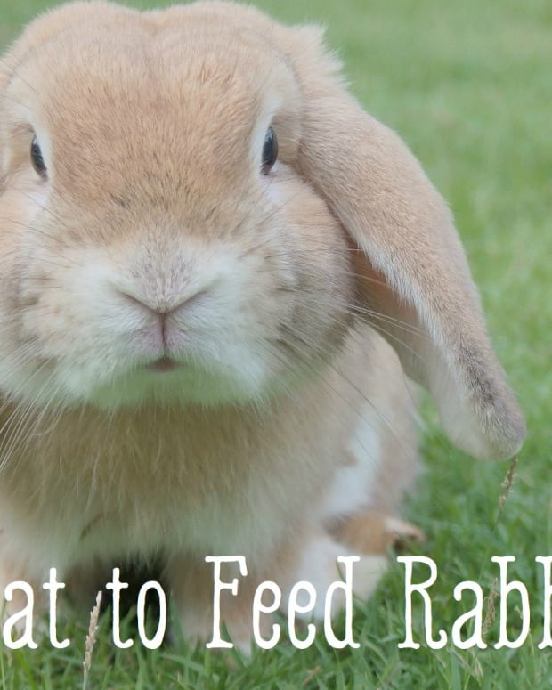 bunny-care-guide-what-to-feed-your-bunny-rabbit--what-do-rabbits-eat