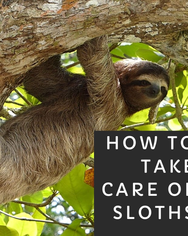 how-to-take-care-of-the-exotic-pet-sloth